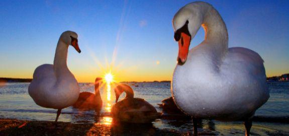 Svaner i solnedgang på Omre